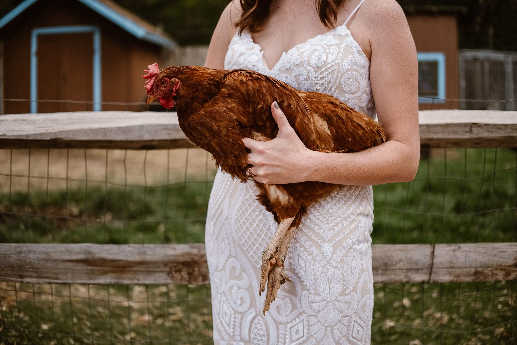 Lyons Farmette wedding photographer, Colorado intimate wedding photographer, bride holding hen chicken