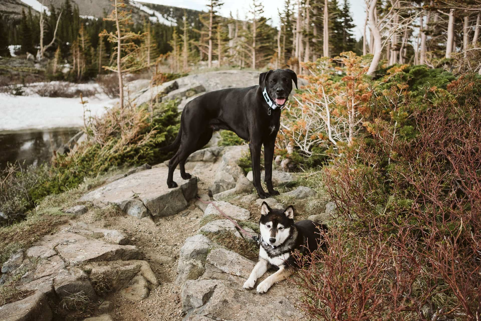 Dogs at hiking adventure elopement in the Colorado mountains